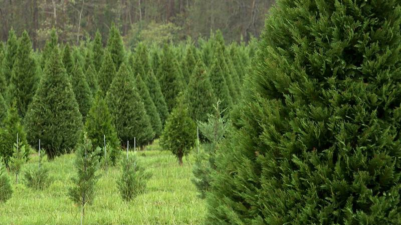 Grant Christmas Tree Farm in Allen Parish, La.