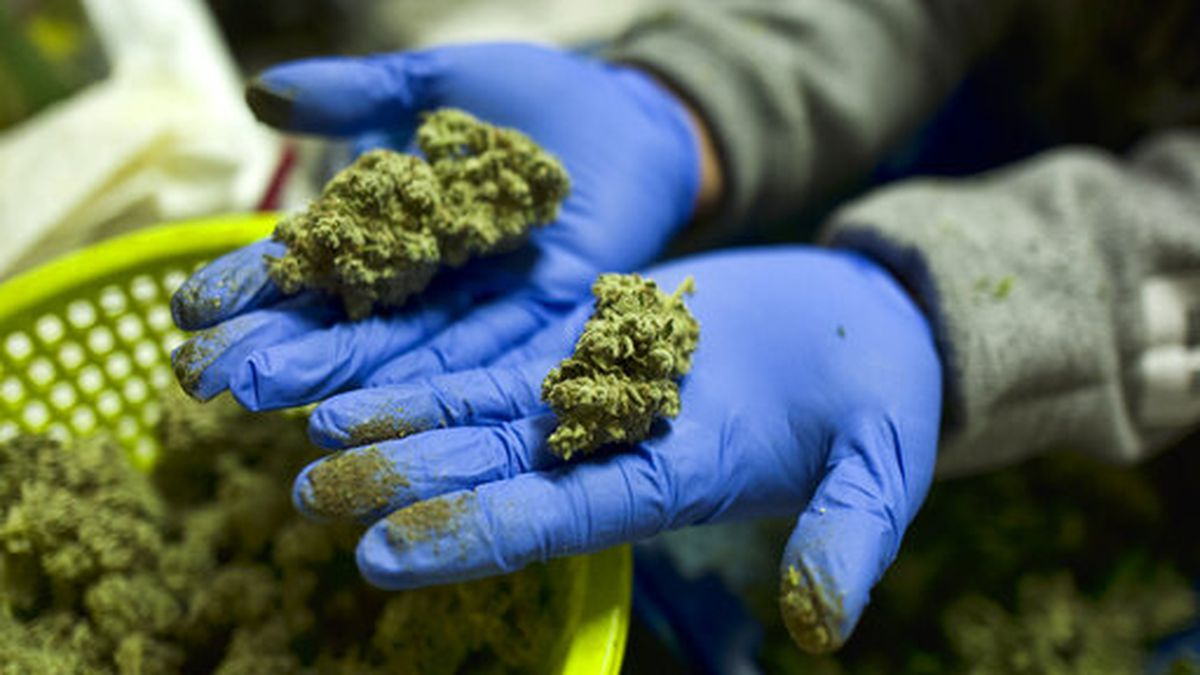 FILE - In this April 4, 2019 photo a cannabis worker displays fresh cannabis flower buds that...