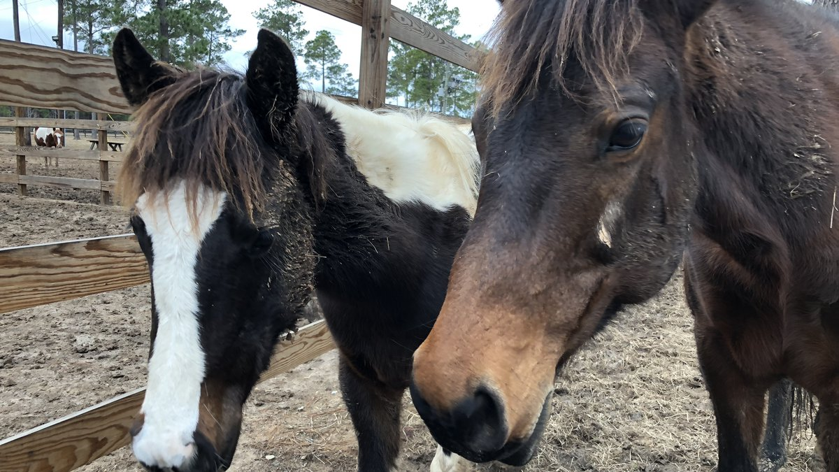 A pair of curious wild Fort Polk horses in foster care check out KALB's camera.<br />(KALB)