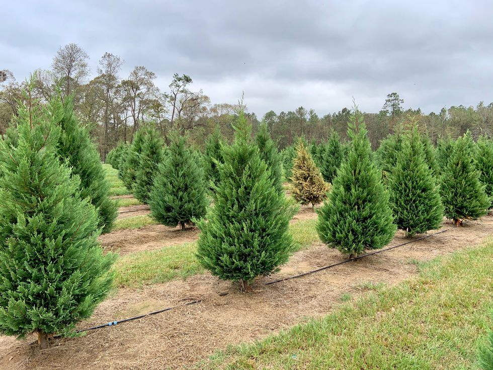 Most of the trees have been staked upright over the last few weeks, but the root systems of...