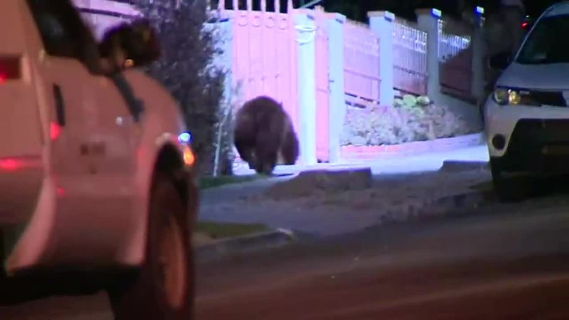 A bear was discovered wandering through a residential neighborhood in Los Angeles.