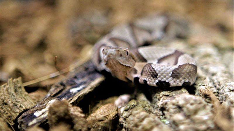 FILE - A copperhead snake.
