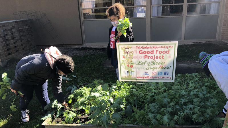 Students pick crops from Pineville Elementary School garden.