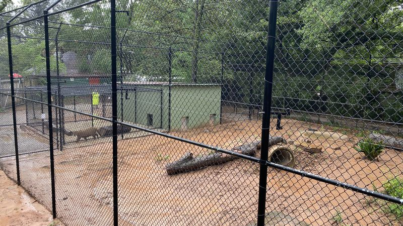 The famous cougars Jack and Diane were brought back home to their new habitat at the Alexandria...