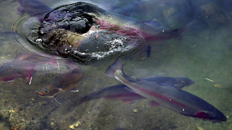 File photo of rainbow trout.