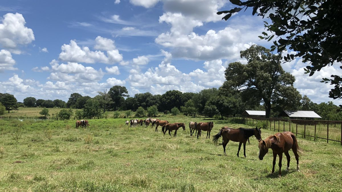 A group of Fort Polk horses at their temporary home on a Rosepine property.  <br />(KALB)