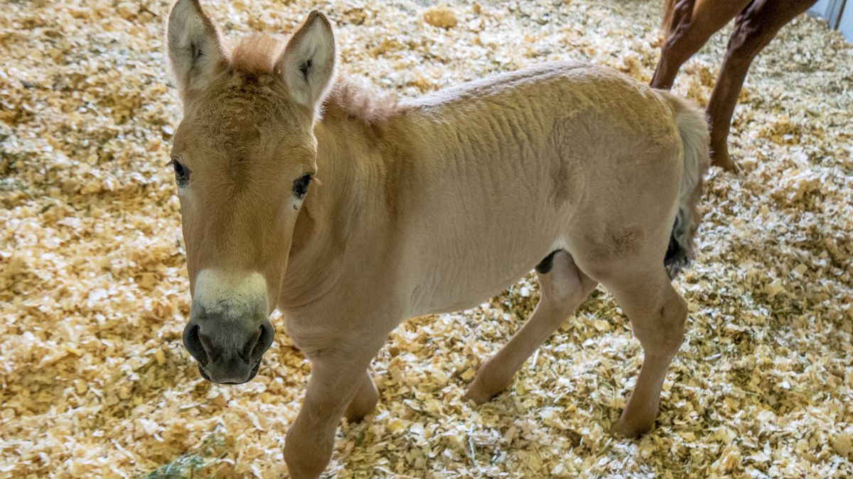 This Sept. 1, 2020 photo provided by San Diego Zoo Global shows Kurt, a tiny horse who is...