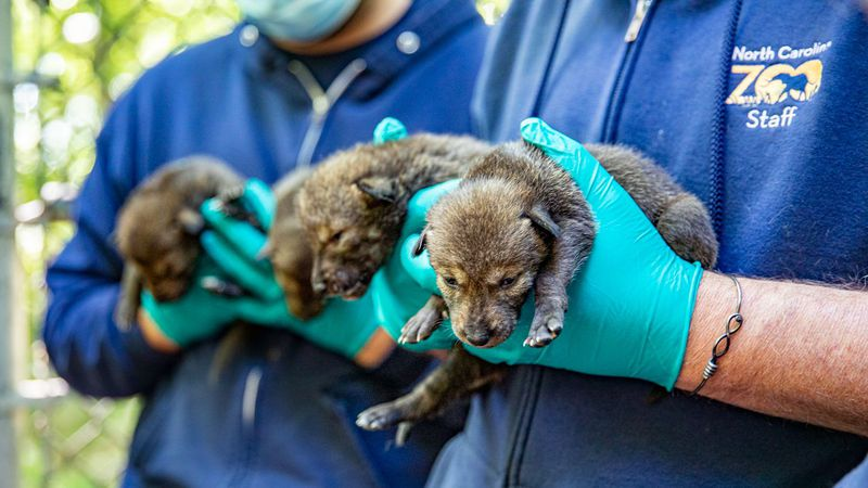 The North Carolina Zoo on Monday announced the birth of three litters of critically endangered...