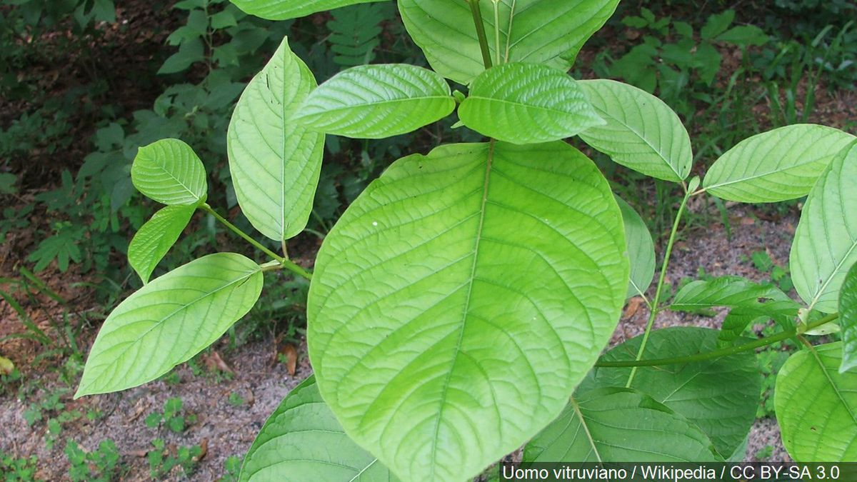 Mitragyna speciosa Korth also known as ketum or kratom is a tropical evergreen tree in the coffee family (Rubiaceae) native to Southeast Asia in the Indochina and Malaysia phytochoria, Photo Date: 12/1/10