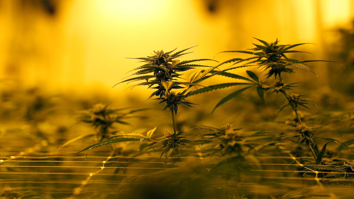 FILE - In this Tuesday, Aug. 6, 2019, file photo file photo, marijuana plants grow under...
