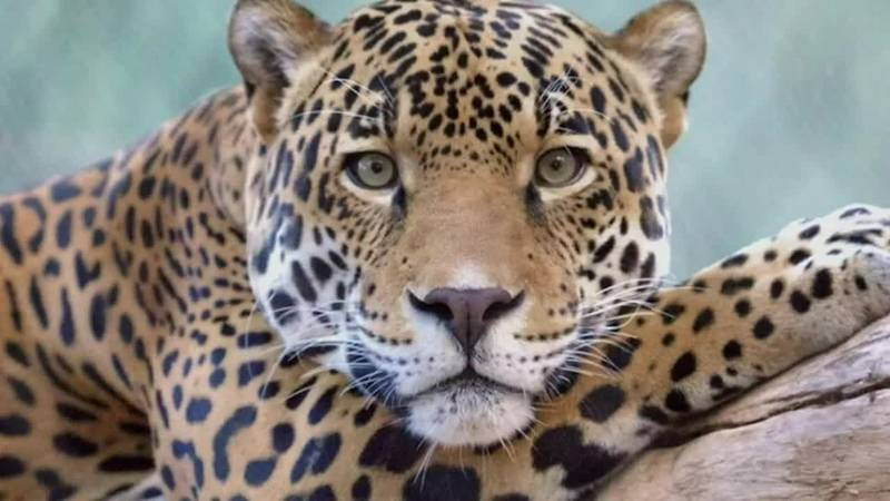 Man is swiped by a jaguar after he put his hand in an exhibit at the Jacksonville Zoo.